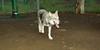 Cheyenne (natve american dog)(7mo)_002