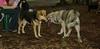 Cheyenne (new pup), Maddie_002