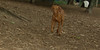 Cleo (6mo  puppy girl)_001