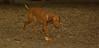 Cleo (6mo  puppy girl)_004