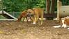Brownie ( new pitbull pup)_003