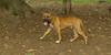 Brownie ( new pitbull pup)_001