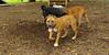 Brownie ( new pitbull pup)_005