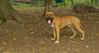 Brownie ( new pitbull pup)_002