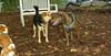 Pepper (plott hound boy), Maddie_001