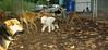 Louis (bedlington terrier new)_001