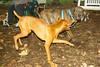 Pepper (plott hound), Cleo (viszla)_002