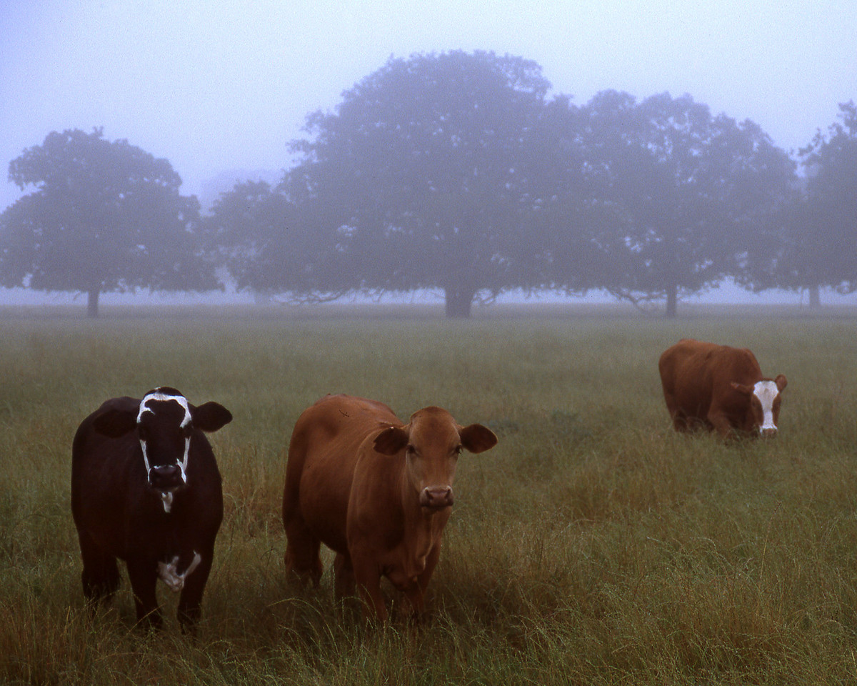 College Station Cows 8x10