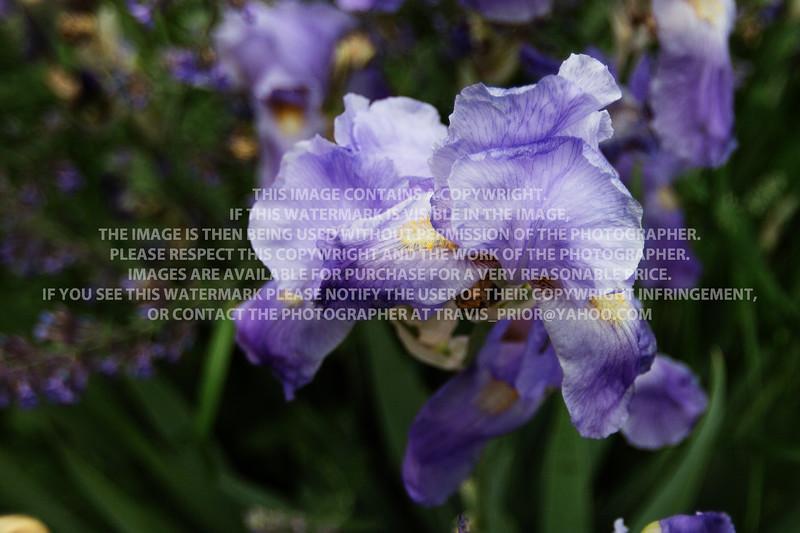 Iris Close KP629545
