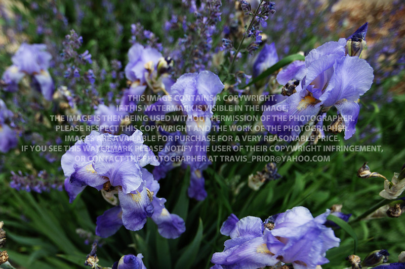 Iris KP629544