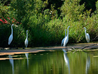 Egrets on the Goat Farm Pond