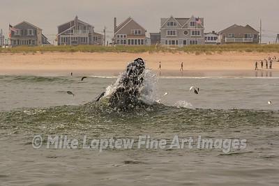 Humpback Spraying Bait