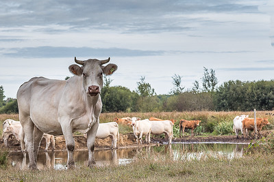La belle des marais (The beautiful swamp cow)