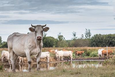 La belle des marais (The beautiful swamp cow)