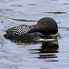Loons of the Northwoods 5