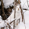 Close Encounter with a Snowshoe Hare 1