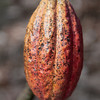 Another native Honduran cocoa pod.  Not all of the native Honduran cocoa are red -- though most are.
