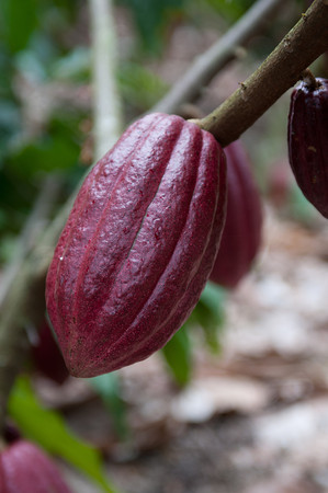 Native Honduran cocoa that is being preserved by Frank Homan and Xoco.