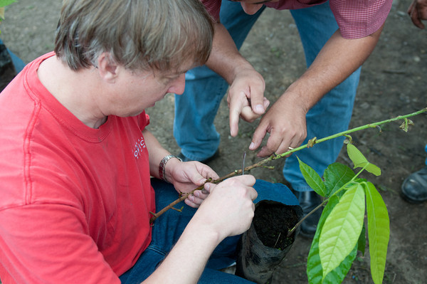 Art Pollard from Amano Artisan Chocolate practices grafting during the founding of Direct Cacao.