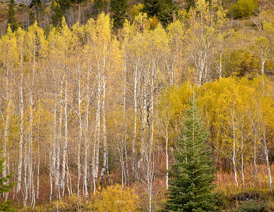 Fall colors of Aspen