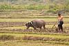 Farmer and water buffalo