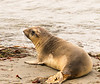 Young Northern Elephant Seal