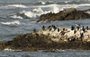 Cormorants, Pelicans and  Oystercatchers