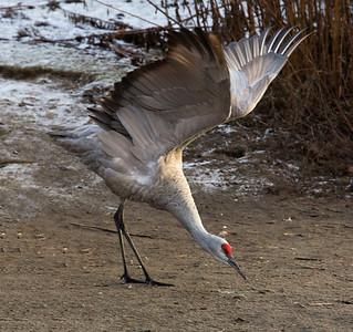 Reifel Bird Sanctuary, BC (Jan-Feb 2016)