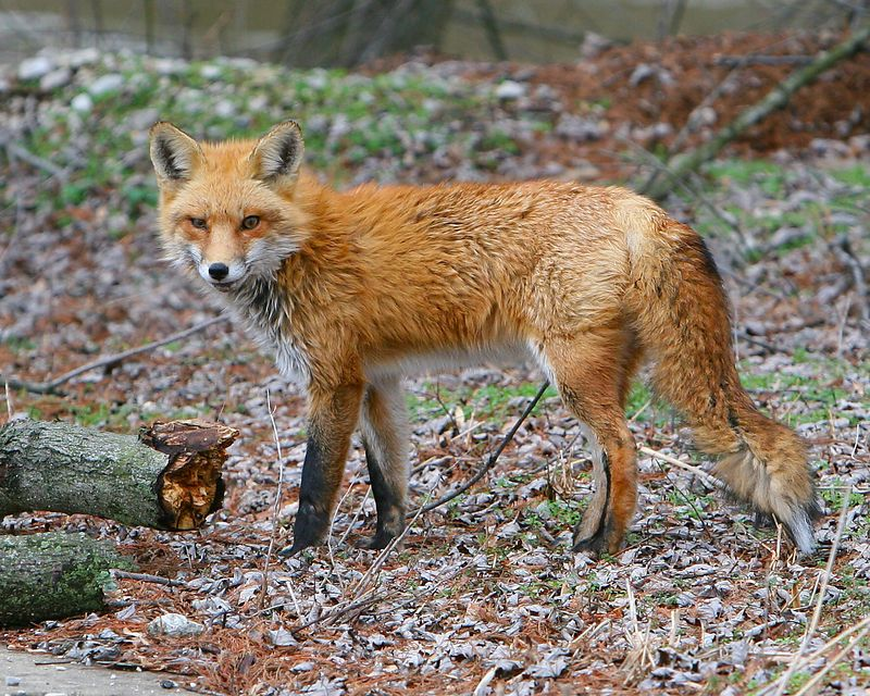 This red fox was found near the River Walk that runs thru Jasper.