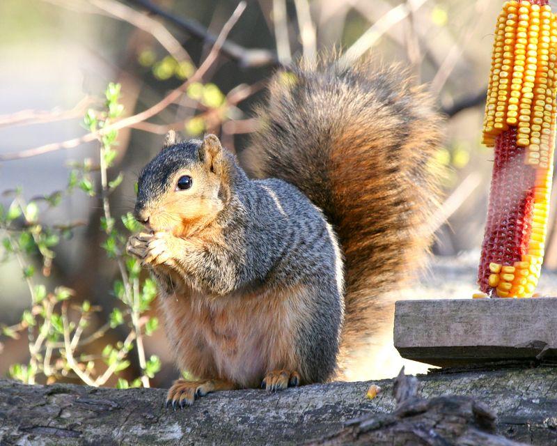 Squirrel munching on a corn kernel.  He was found near the River Walk in Jasper.