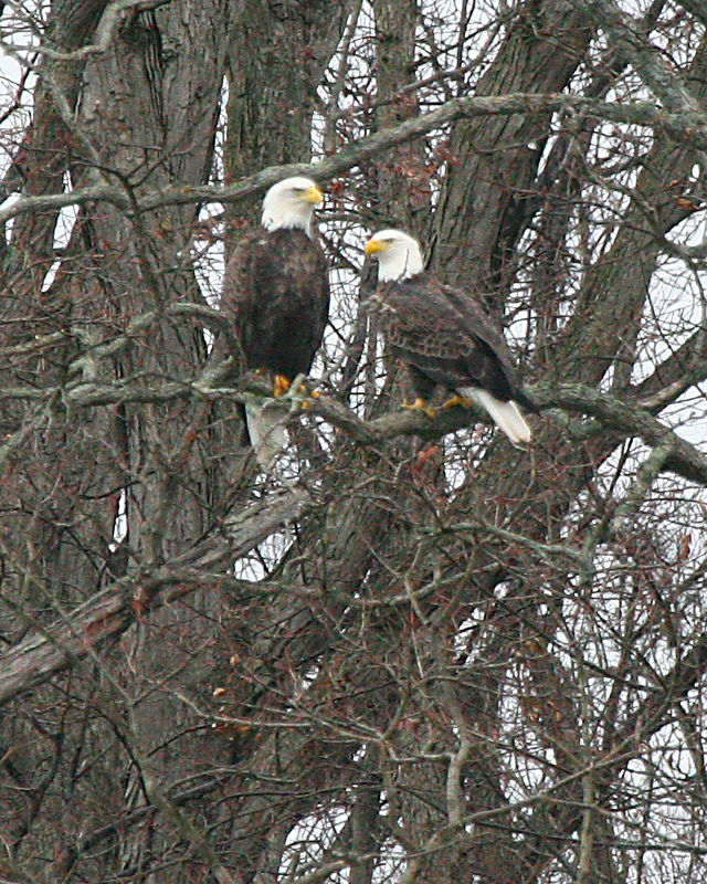 This pair of bald eagles are obviously mates.  The female is the larger bird.