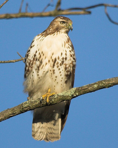 Red tailed hawk found near Patoka Lake in Indiana.