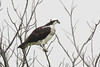 Osprey perched in walnut tree near lake.