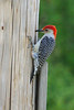 Red Bellied Woodpecker on pole near feeder.