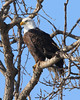 This eagle is content to watch out over the Mississippi and bask in the sun.