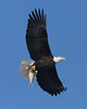 Another eagle with a fish in his talons.