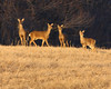 As we exited the visitor's area of LD #18, a small group of deer were seen in the late afternoon sun.  The lighting was excellent.