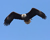 This eagle is keeping an eye on me as he flies past me to get to his perch in a tree behind me.