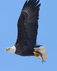 Some of the eagles flew so close to me that I could not fit them into the frame of my telephoto lens.