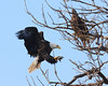 This adult eagle extends his talons towards a branch as he lands on his perch.  A juvenile eagle is already in the tree.<br /> <br /> The juvenile eagles are reddish-brown in color and do not get the white crown and white tail until they mature; usually at age 4 or 5 years.