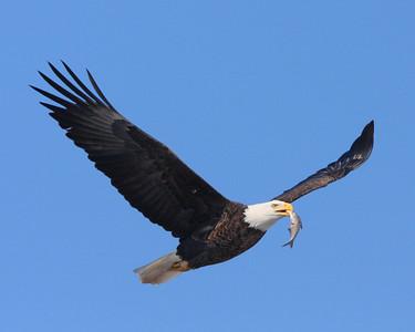 Eagles of the Mississippi River - 2008