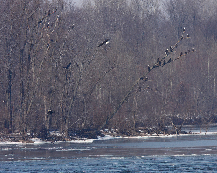 Another scene on the far bank of the Mississippi.  The tree on the right has the most eagles of any tree that I could see.  I count 21 eagles in this small tree.  There is a mixture of adults and juveniles present.