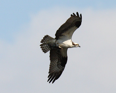 Osprey of Patoka Lake