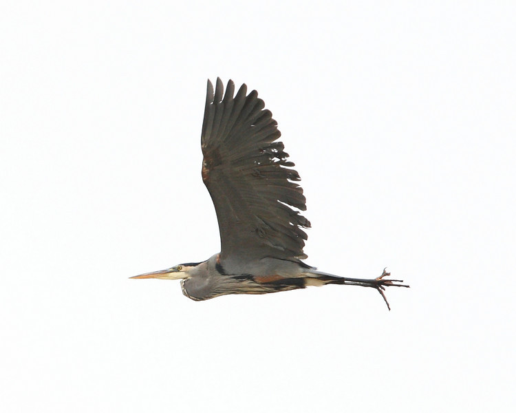 Week ending Dec 21, 2008.  A blue heron hi-tails it when I get too close to him.  I am shooting due South, so I overexposed to show his otherwise shadowed body.  The result is the sky is blown out to white, creating this surreal photo.