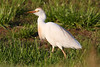 Week ending May 4, 2008.  Cattle Egret found at Uncle Glen's lake.  (I had never seen one of these around here before!!)