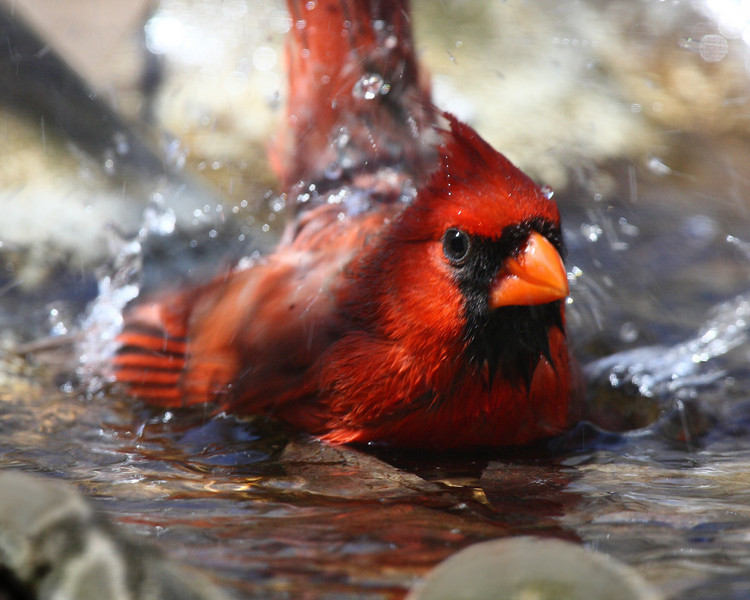 Week ending April 6, 2008. Male cardinal taking a bath.