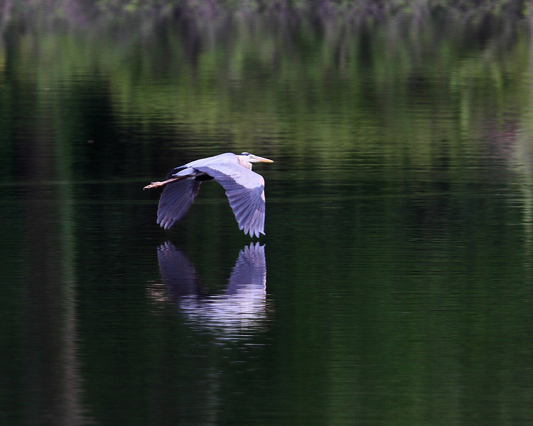 Week ending 5-18-2008.  Blue Heron gliding across a finger of Patoka Lake.  The still waters of late evening show the reflection of this graceful bird.