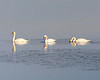 Christmas Day, 2008: Three wise swans.