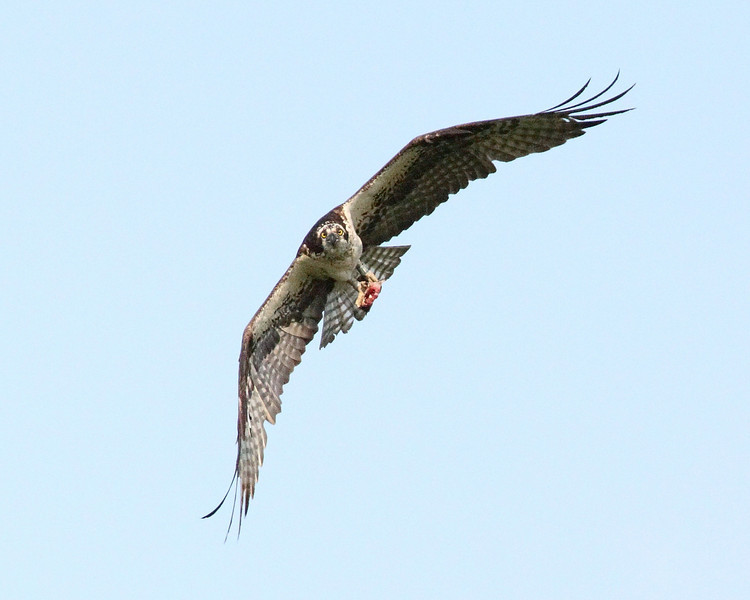 Week ending 5-25-2--8.  Osprey carrying a fish looks me right in the eye!!