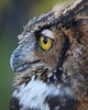 Week ending Sep 28, 2008.  Great Horned owl on display at the Hardy Lake Raptor Center.
